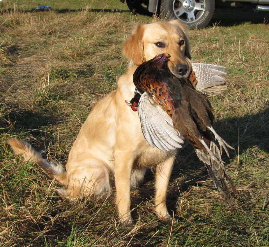 golden retriever duck hunting